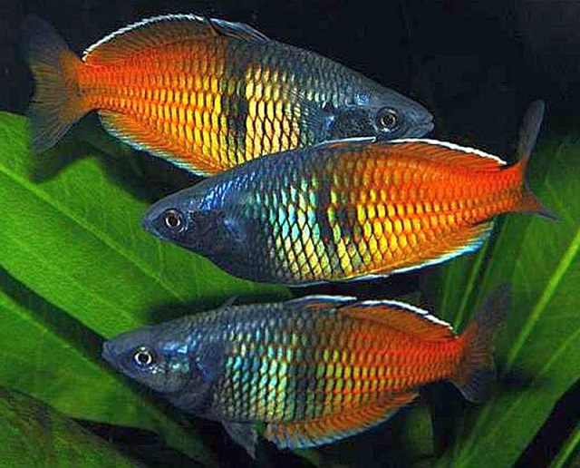 Boeseman's Rainbowfish - coolest freshwater aquarium fish