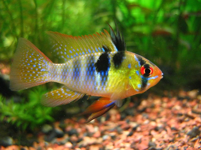 German Blue Ram- Pretty Fresh Water Fish