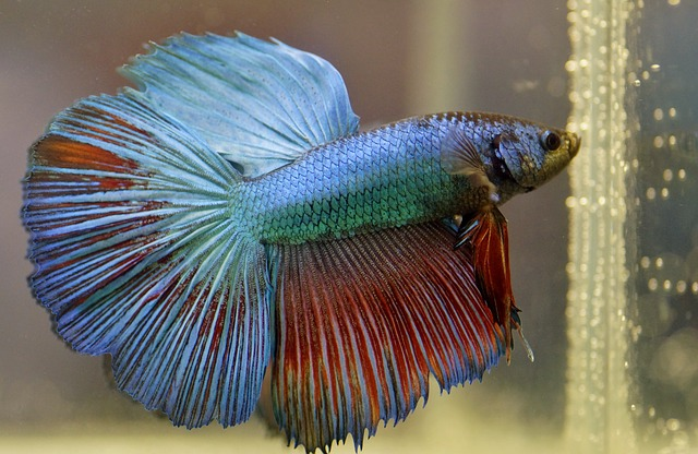 Male Betta - Prettiest freshwater fish