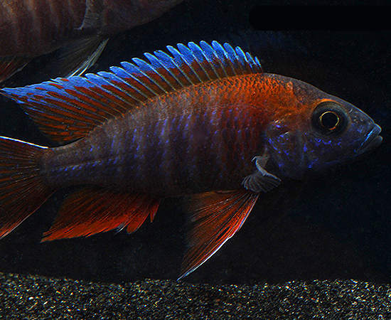 Peacock Cichlid - unique freshwater fish