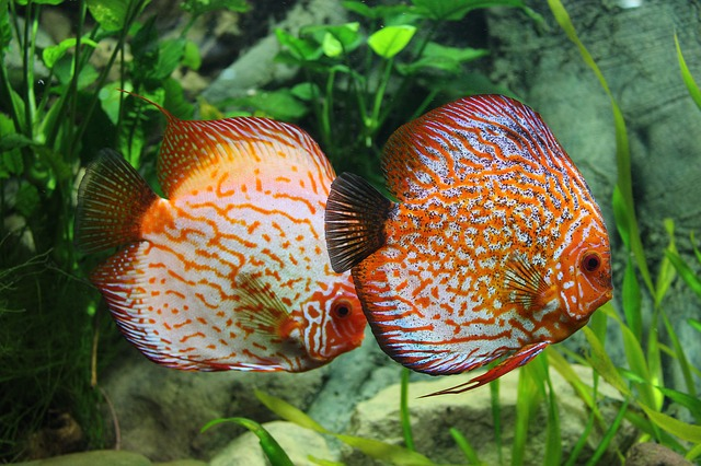 discus fish - colourful freshwater fish